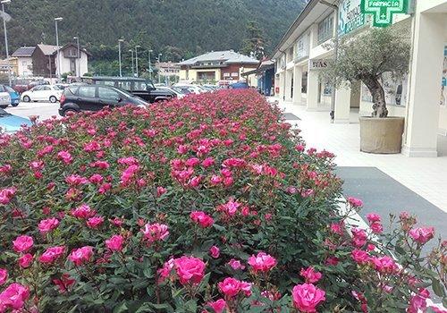 un'aiuola di rose e vista delle macchine parcheggiate