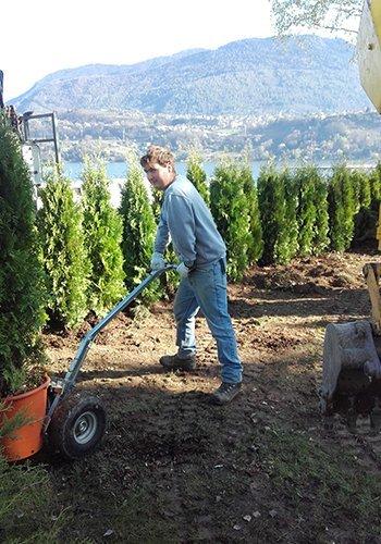 un uomo con un carrello che scarica un vaso con in cipresso in un giardino