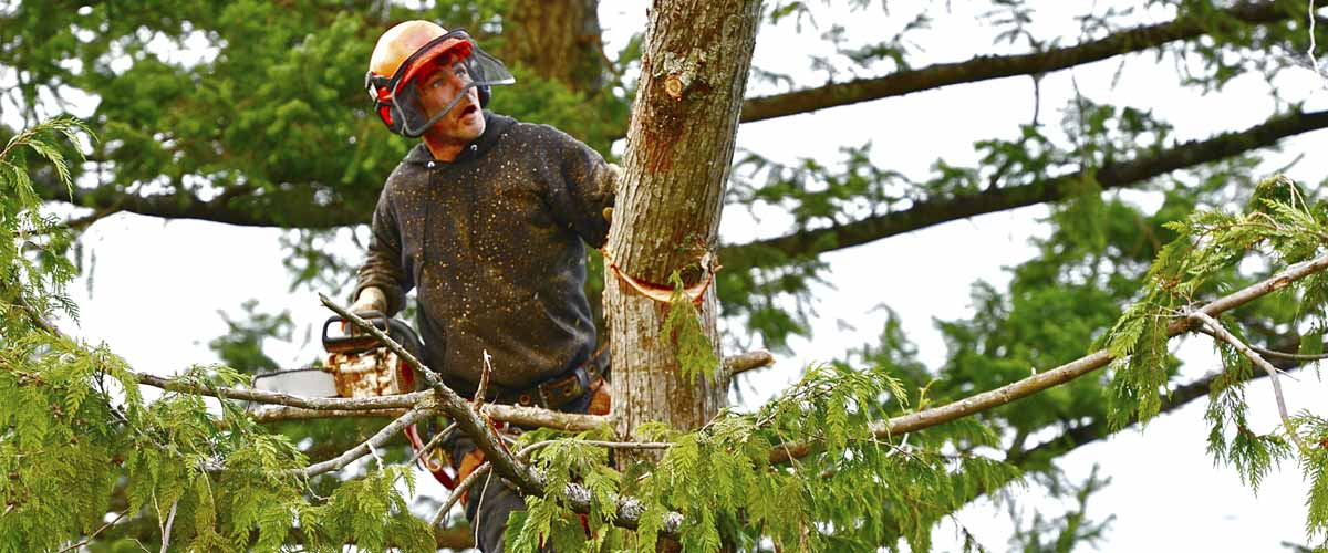steve smith tree felling man tree cutting