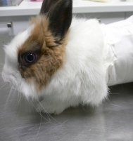 fasciatura conigli, medico per animali, medico per conigli