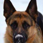 duitse herder (sneeuw)