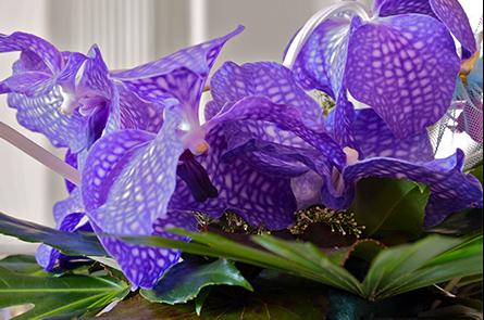 orchidea wanda