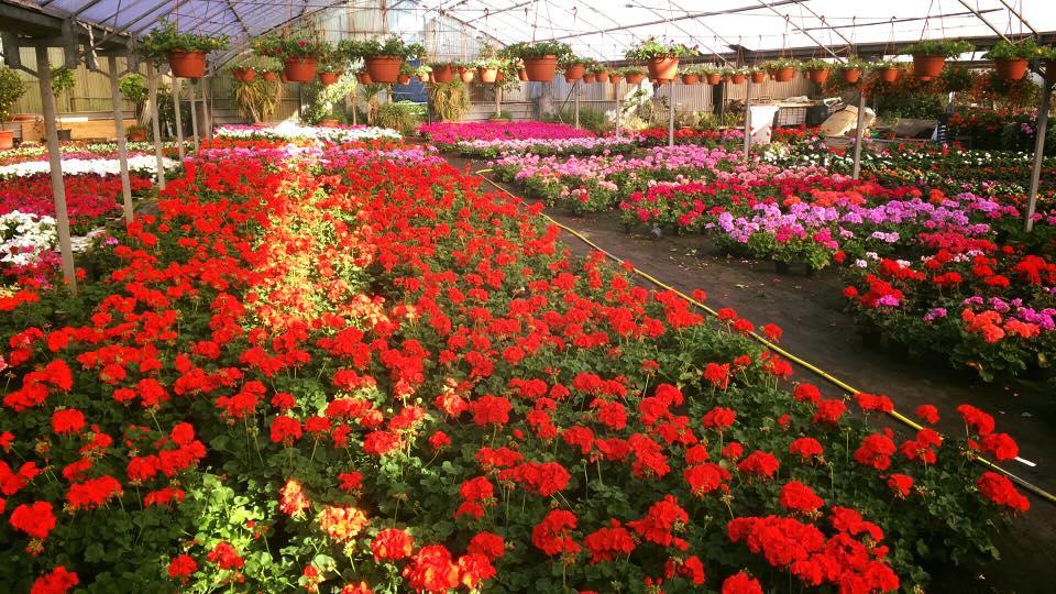 dei fiori rossi