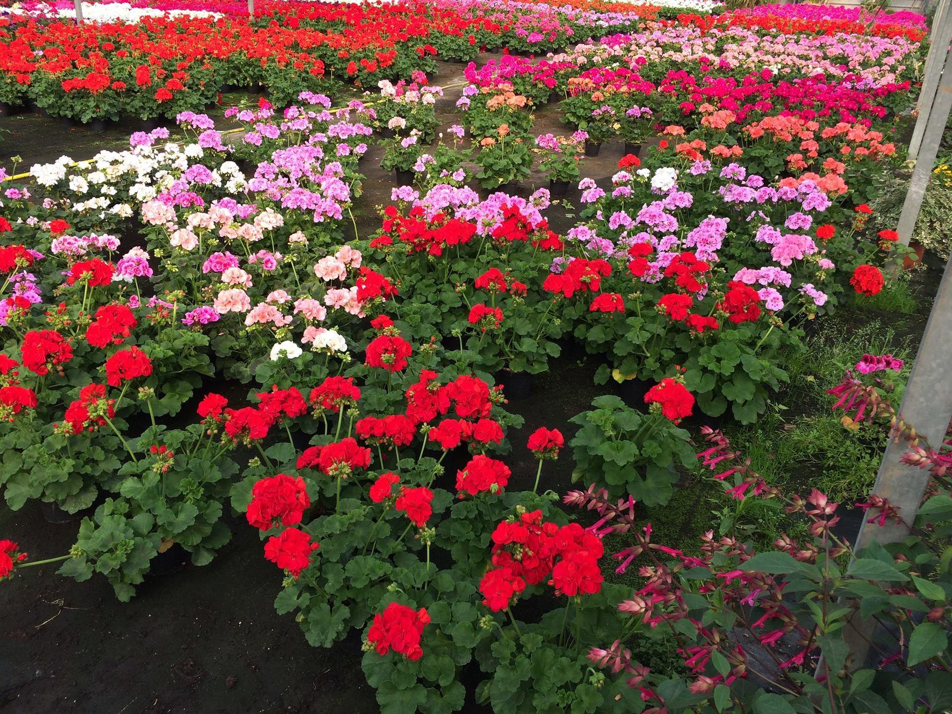 dei fiori bianchi, rossi e rosa