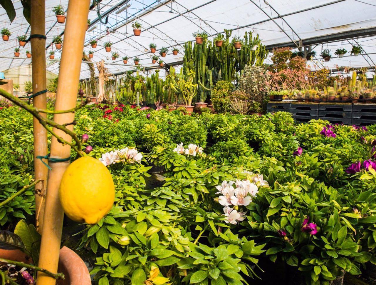 un limone e dei cactus sullo sfondo