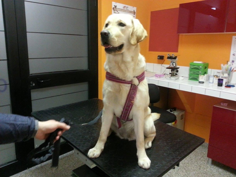 Centro Veterinario 2000 - Labrador su tavolo del veterinario