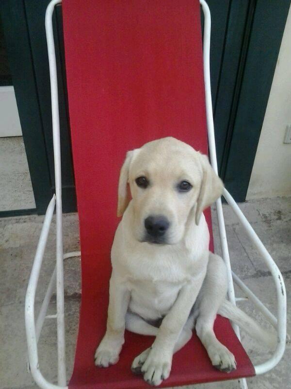 Centro Veterinario 2000 - cucciolo di labrador su sedia