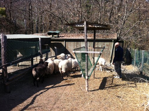 pecore in un recinto