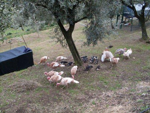 galline pascolano a terra