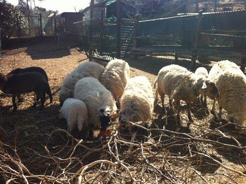 pecore nell agriturismo