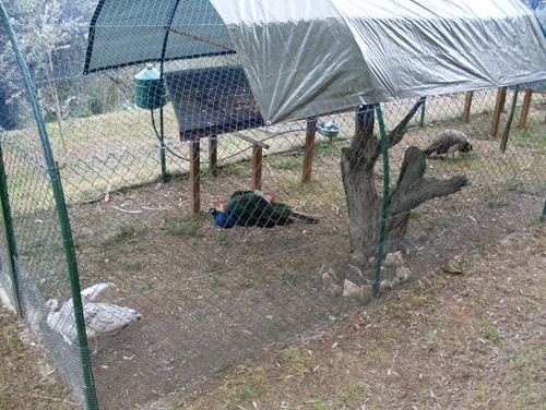gabbia con fagiani