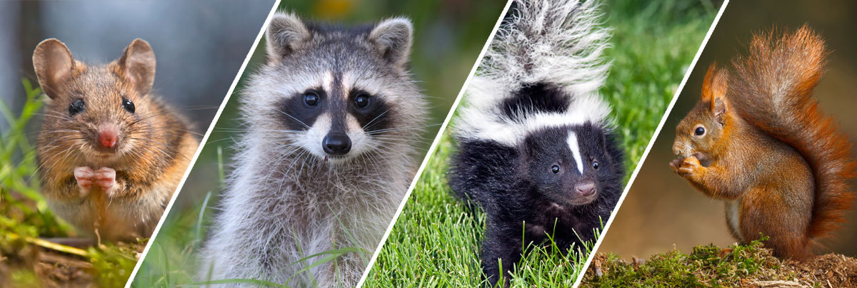 Animal, Wildlife, Racoon and Critter Removal Services San Antonio, TX