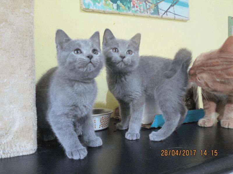 vendita cuccioli gatto