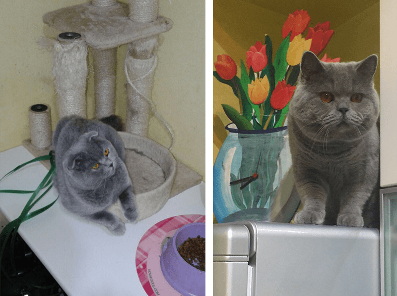 vendita british gatto