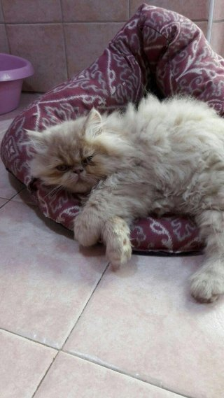 gatto persiano tata & company genova