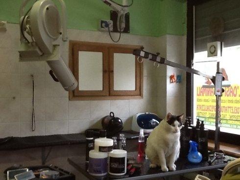un gatto su un bancone da toelettatura