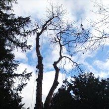 Crown lifting - High Wycombe, Buckingham - A J Howarth Tree Surgeon - Tree