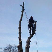 Crown thinning - Aylesbury, Buckinghamshire - A J Howarth Tree Surgeon - Tree cutting