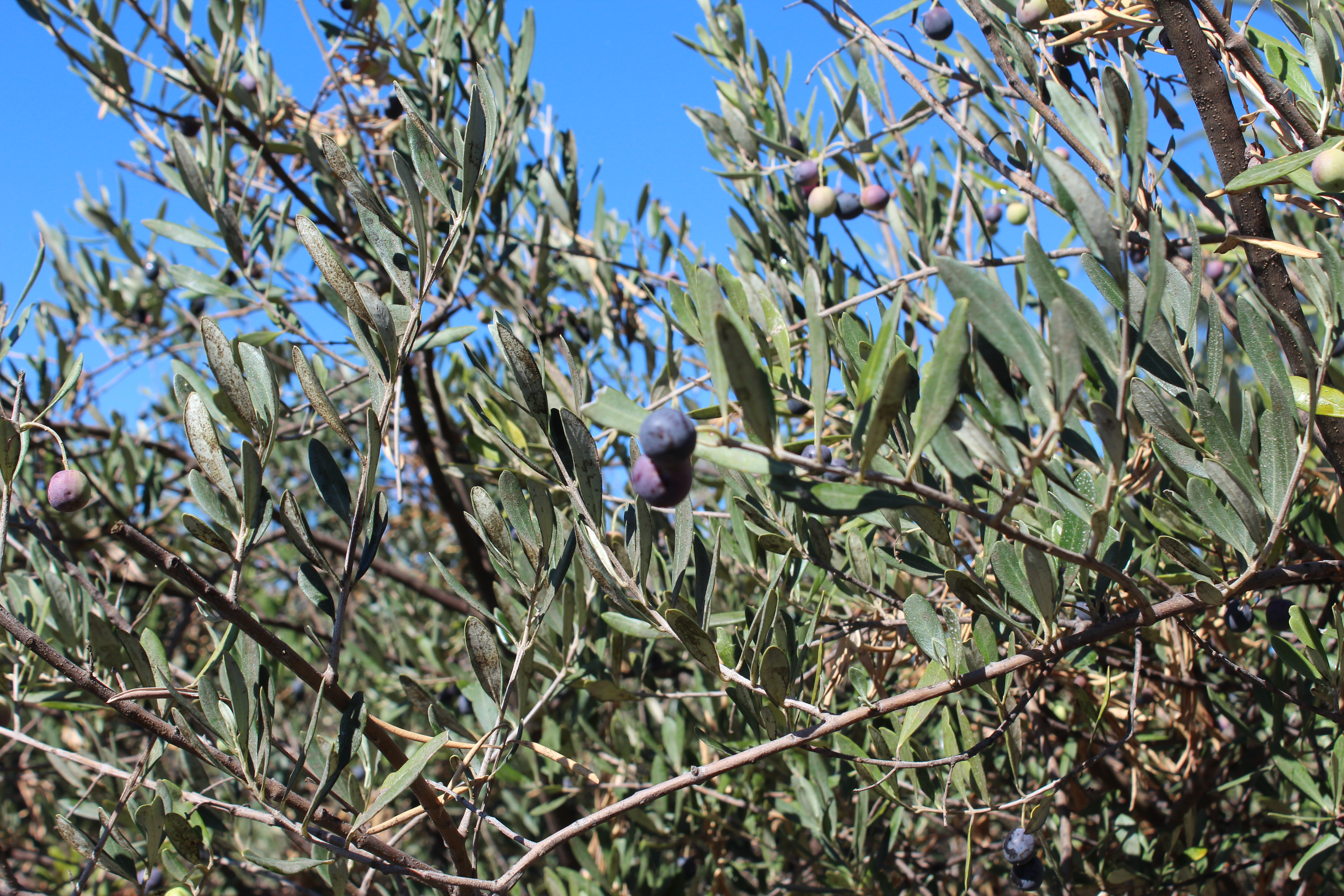 Infused Olive Oils Merritt Island, FL