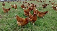 annie's free range chooks range around the farm in Victoria