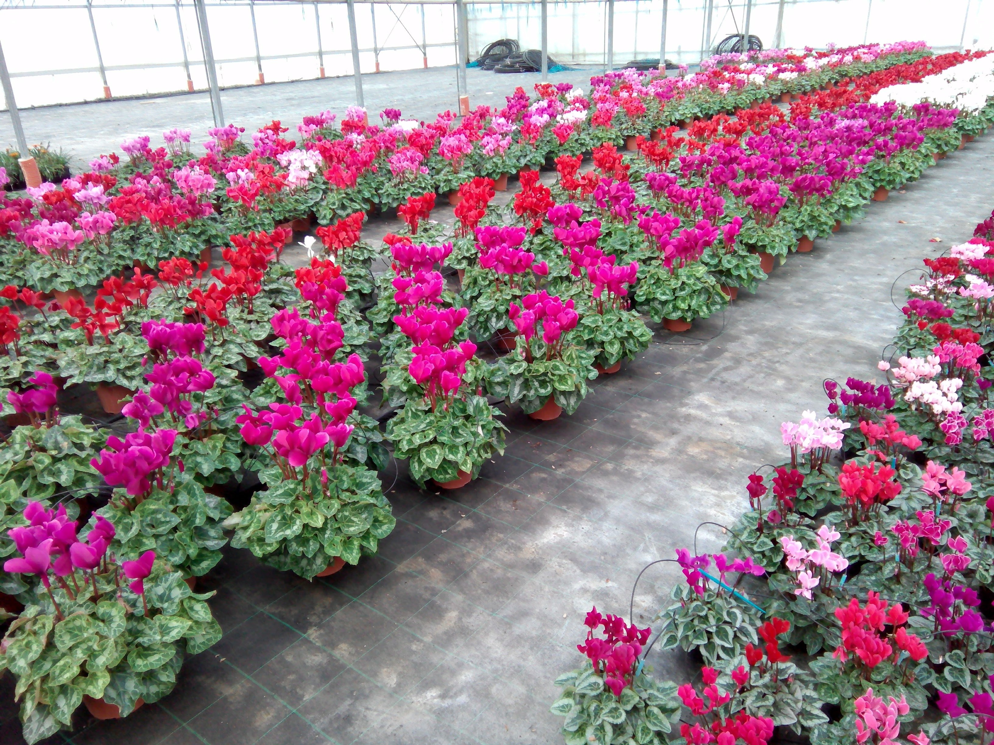 serra con fiori colorati