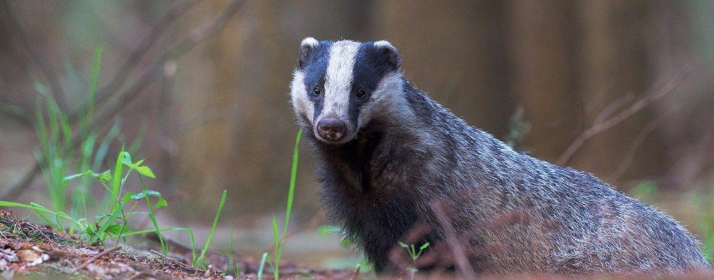 badgers as pests