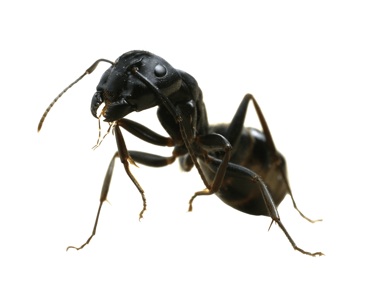 ant problem, ant treatment