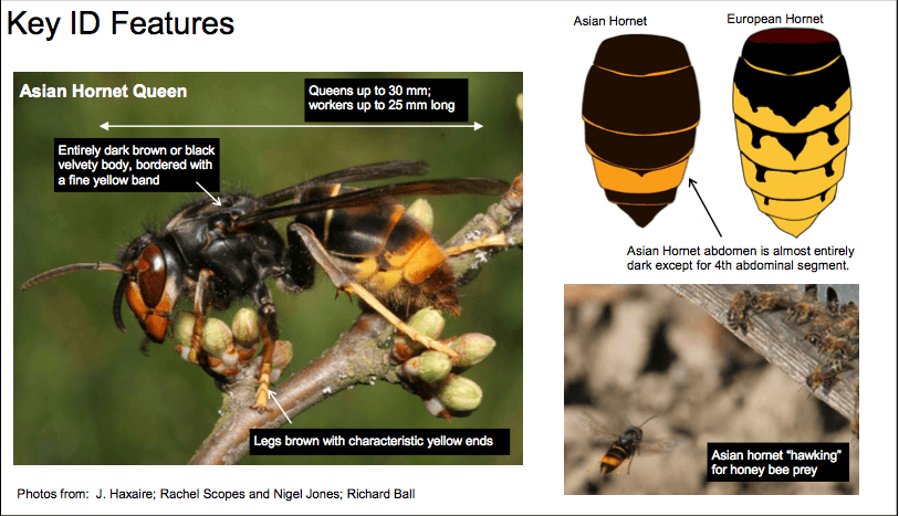 Key Features Of The Asian Hornet