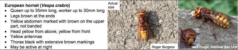 European Hornet Description