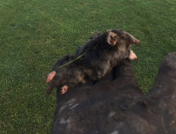 how to get rid of garden moles by mole trapping