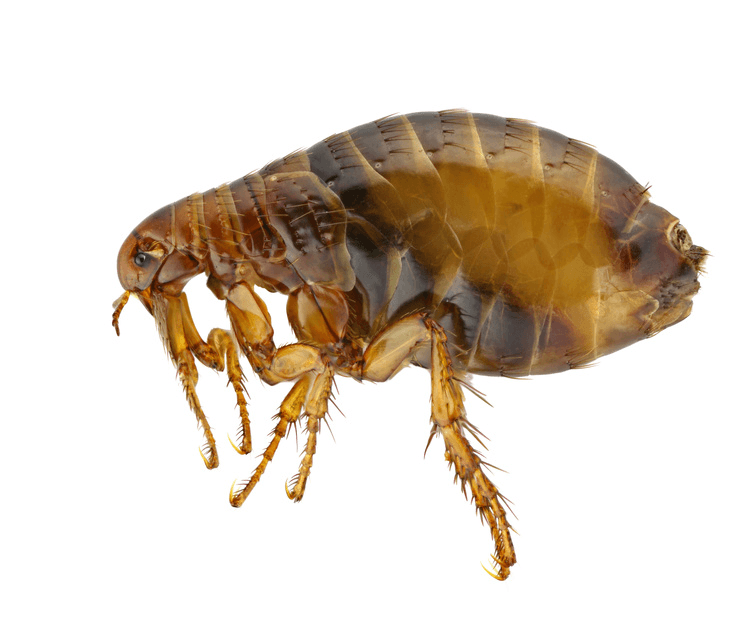flea problem and treatment