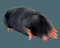 Mole Control Mole Trapping Garden Moles Covering Oxfordshire