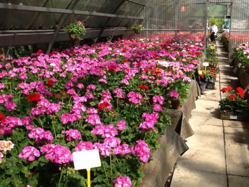 Piantine fiori rosa