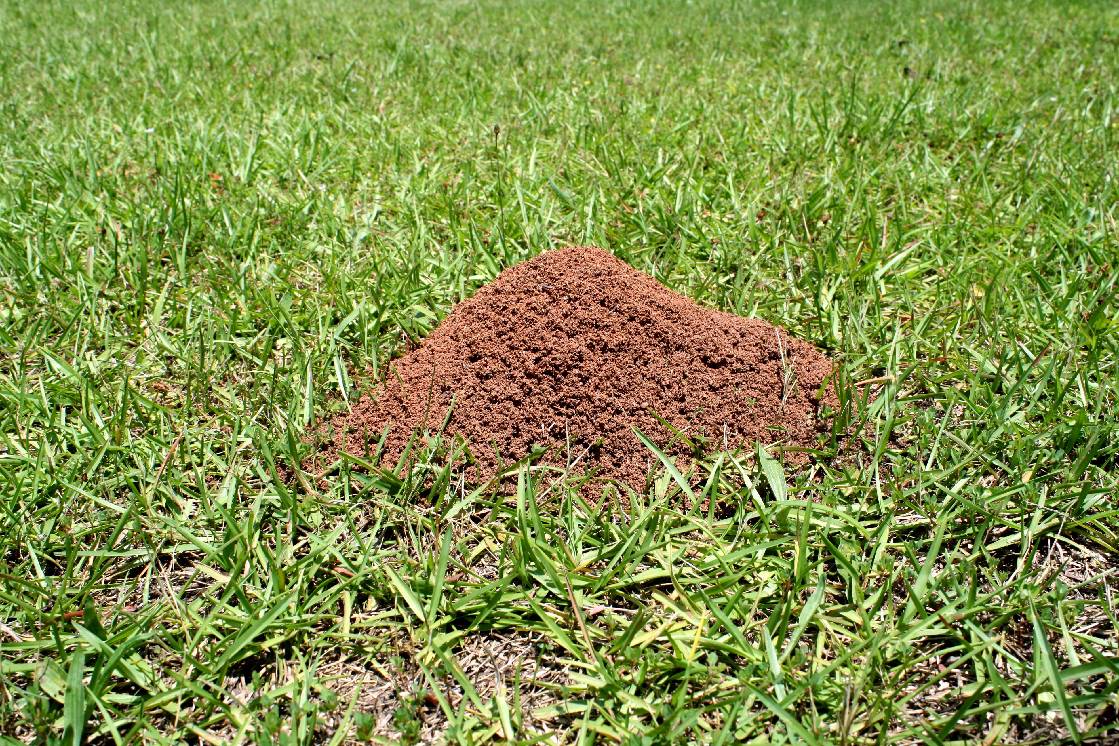 fire ant, insect, lawn control, lawn, yard, arkansas