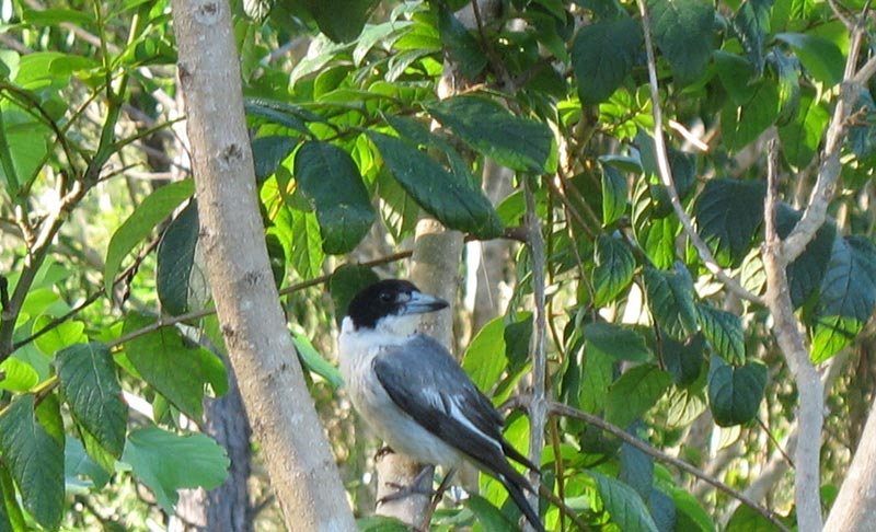 Butcherbird - Grey