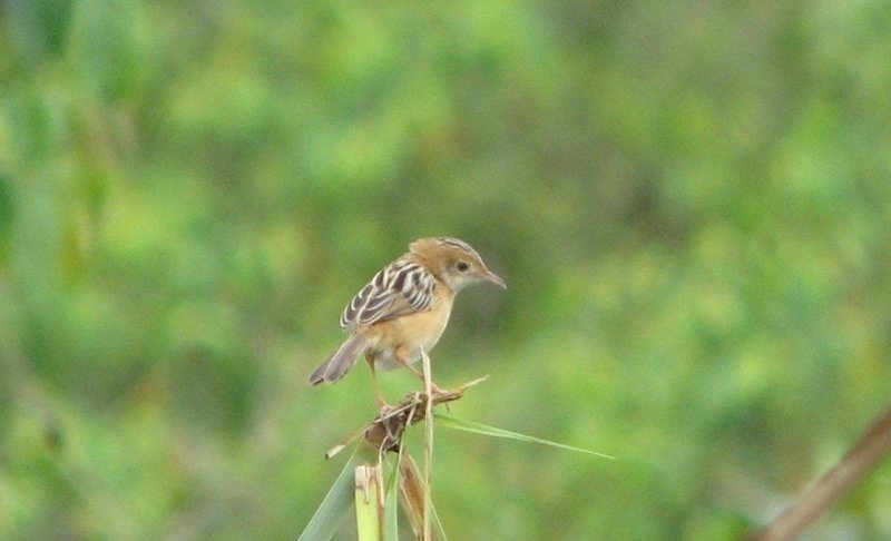 Cisticola - Golden Headed