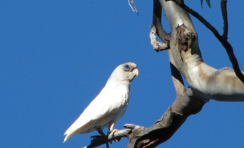 Corella-Little