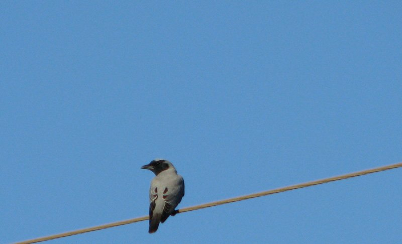 Cuckoo Shrike - Black Faced