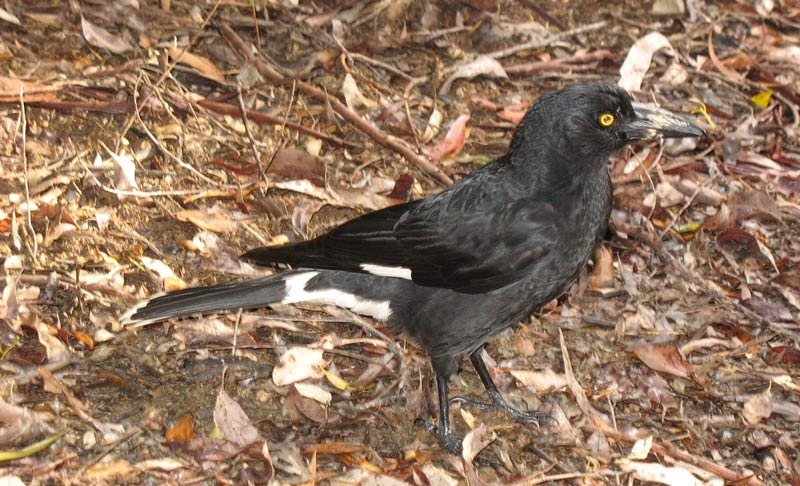 Currawong - Pied