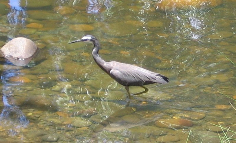 Heron - White Faced
