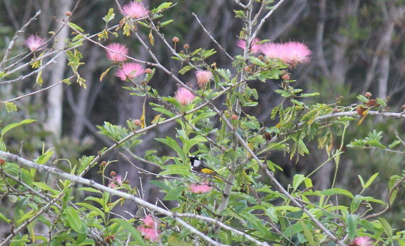 Honey Eater - White Cheeked