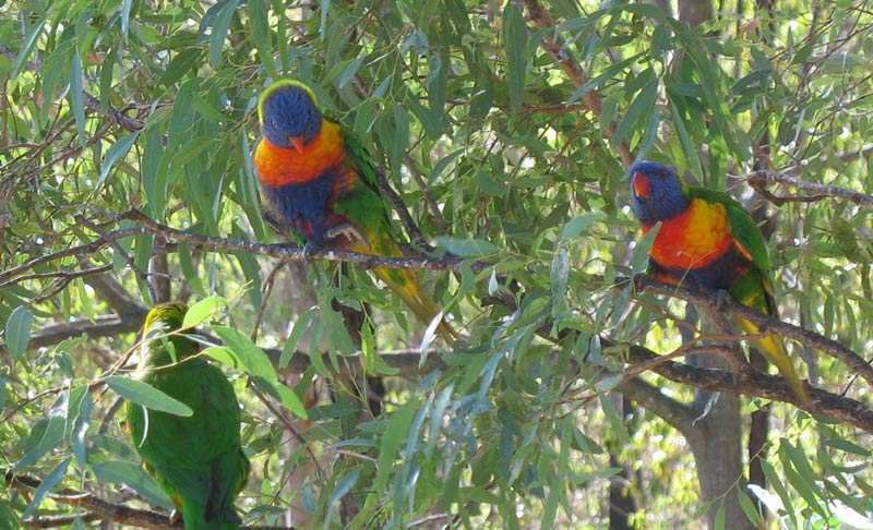 Lorikeet - Rainbow