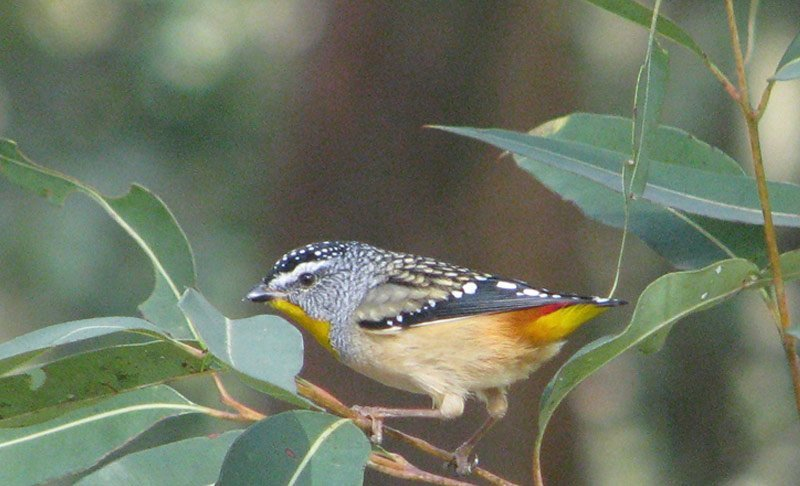 Pardalote - Spotted