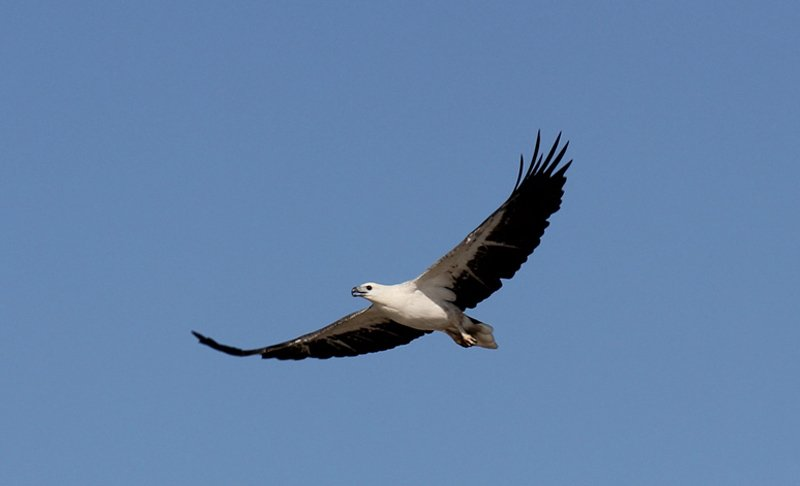 Sea Eagle - White Breasted