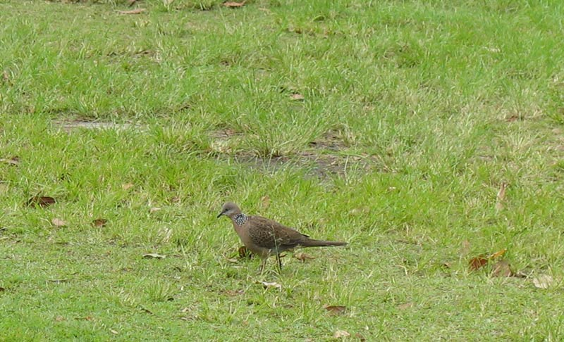 Turtle Dove - Spotted