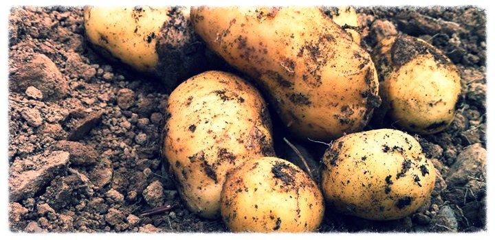 Potato merchants
