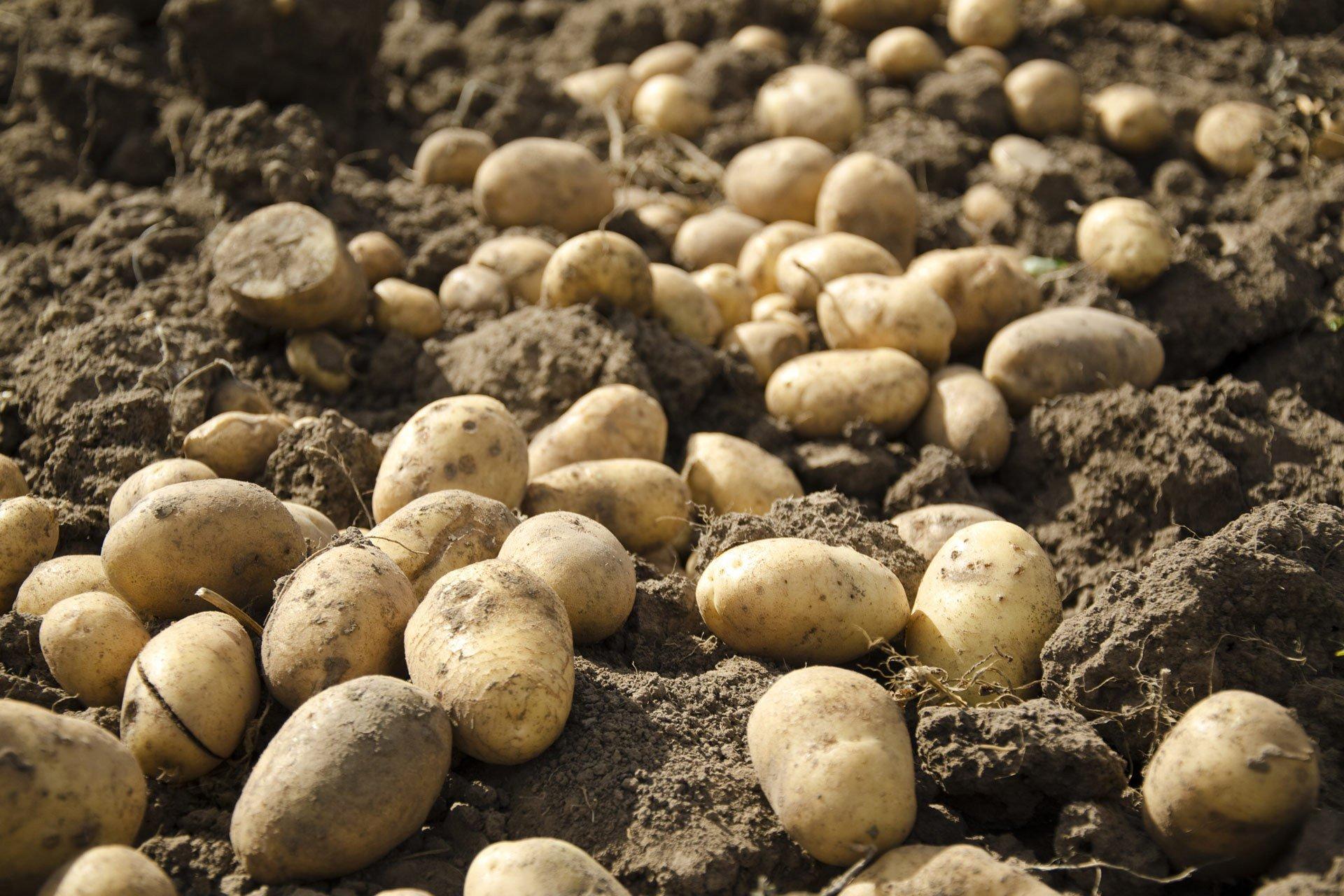 interesting potato news
