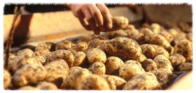 trusted potato man