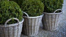 vendita piante, sempreverdi