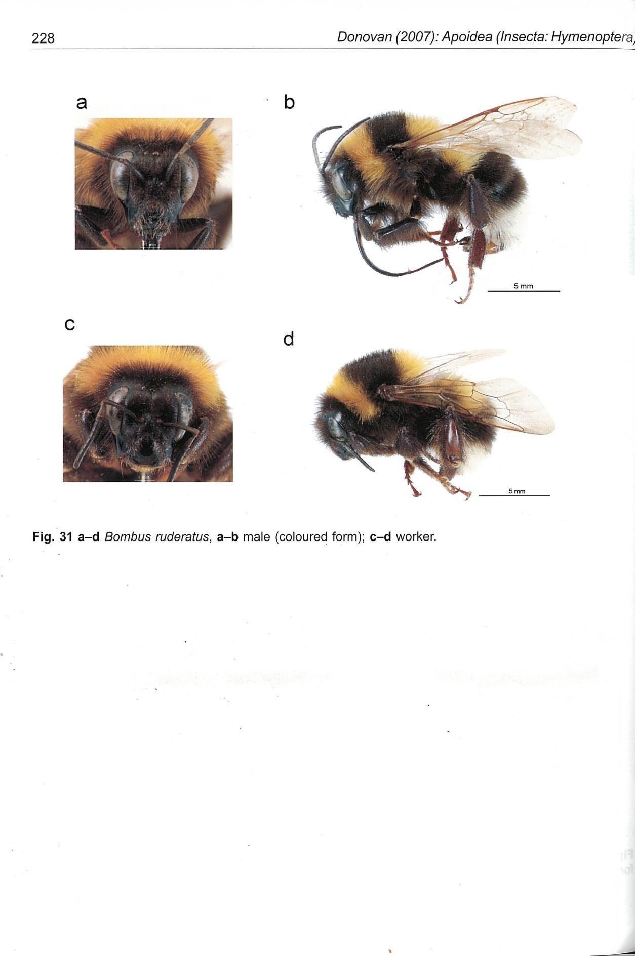 Close ups of Bombus Ruderatus bee
